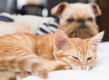 Dog and kitten sleeping together Royalty Free Stock Images
