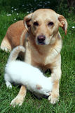 Dog and kitten together. Brown dog with little white kitten outdoor on the grass stock photography