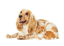Dog and kitten Royalty Free Stock Image