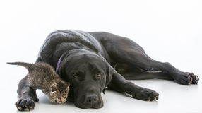 Dog and kitten. Dog and young kitten on white background Royalty Free Stock Photo