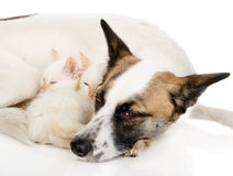 Dog with kittens sleeping together.  on white background Stock Image