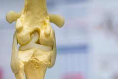Dog knee joint mold back view, meniscus and cruciate ligament. Femur, tibia and fibular bones stock image