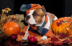 Dog knitted hat and scarf Stock Photo