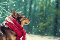 Dog with knitted scarf Stock Images