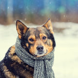 Dog with knitted scarf Stock Photography