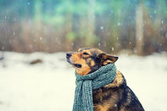 Dog with knitted scarf Royalty Free Stock Images