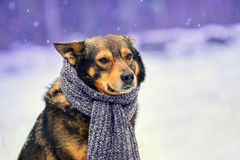 Dog with knitted scarf Royalty Free Stock Photo