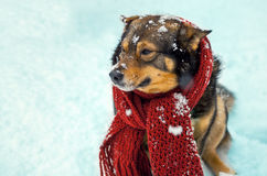 Dog with knitted scarf tied around the neck Royalty Free Stock Images