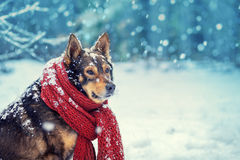 Dog with knitted scarf tied around the neck Stock Photos