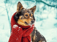 Dog with knitted scarf tied around the neck Royalty Free Stock Photo