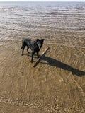 Dog. Labrador boy young Stock Photo