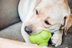 Dog of labrador breed is biting a toy stock photo