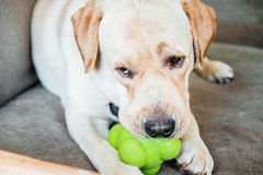 Dog of labrador breed is chewing a toy Stock Photo