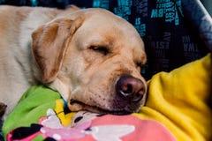 A dog of Labrador breed is sleeping stock photos