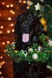 Dog labrador in a christmas interior against a background of lights Royalty Free Stock Photography