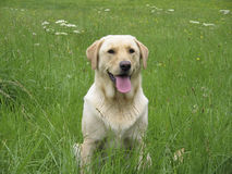 Dog labrador field Stock Image