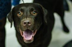 Dog labrador Stock Photo