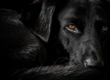 Black Labrador dog at rest. Dog Labrador handsome dog field sunset sunrise profile working hound pooch retriever shooting alert sleepy rest black macro royalty free stock images