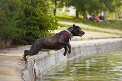 Dog labrador jumps into the water Stock Photo