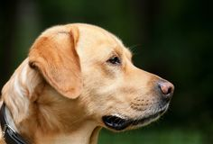 Dog, Labrador, Light Brown, Pet Stock Images