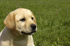 Dog, labrador in a meadow Stock Images