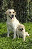 Dog, labrador in a meadow Royalty Free Stock Photography