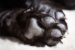 Dog labrador paw with pads. On a light carpet. Black labrador puppy sleeping in her bed Stock Photography