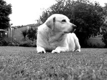 Dog labrador power strong happy black and white Royalty Free Stock Photo