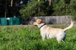 Dog, Labrador, purebred, dog fur, animal, young, brown, yellow, white, gold, beautiful Stock Photos