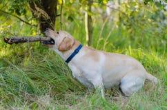 Dog, Labrador, purebred, dog fur, animal, young, brown, yellow, white, gold, beautiful Royalty Free Stock Image
