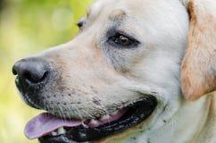 Dog, Labrador, purebred, dog fur, animal, young, brown, yellow, white, gold, beautiful Stock Photography
