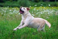 Dog Labrador ran across the field. Royalty Free Stock Image