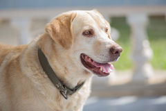 Dog labrador retriever looking his owner Stock Photography