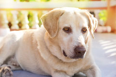 Dog labrador retriever lying down front house royalty free stock photography