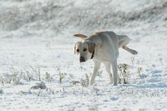 A dog Labrador retriever peeing on the snow in winter. Snowy landscape