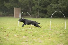Dog, Labrador Retriever, running in hooper competition Stock Photography