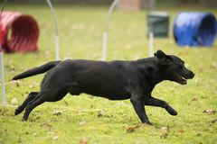 Dog, Labrador Retriever, running in agility hooper competition. Dog, Labrador Retriever, running in hooper competition Stock Photography