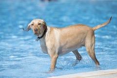 Dog, Labrador Retriever, standing in swimming pool Stock Image