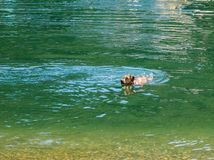 Dog Labrador swimming in green water returning  to the shore Stock Photography