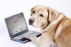The dog Labrador work on computer. Labrador work on computer and looking graphic Royalty Free Stock Photo