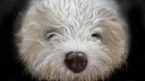 Dog lagotto romagnoli Stock Images