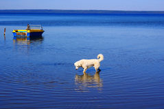 Dog in the lake Stock Photography