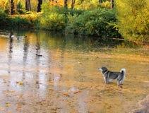 Dog in lake in fall stock photos