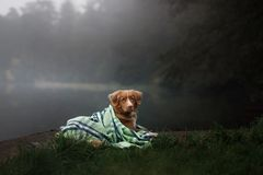 Dog on the lake in the fog under the blanket. Nova Scotia Duck Tolling Retriever, Toller Royalty Free Stock Photography