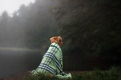 Dog on the lake in the fog under the blanket. Nova Scotia Duck Tolling Retriever, Toller Stock Photography