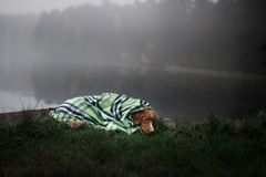 Dog on the lake in the fog under the blanket. Nova Scotia Duck Tolling Retriever, Toller Stock Photo