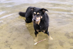 Dog in a Lake Royalty Free Stock Photography