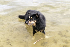 Dog in a Lake Stock Photo