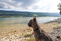 Dog at the lake. Lac de Joux at the Swiss Alps Royalty Free Stock Image