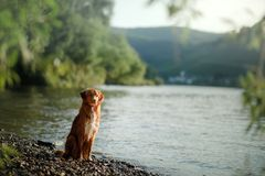 Dog on the lake. Nova Scotia Duck Tolling Retriever in nature. Toller, Pet with Travel stock image